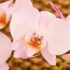 Orhideea Thai
